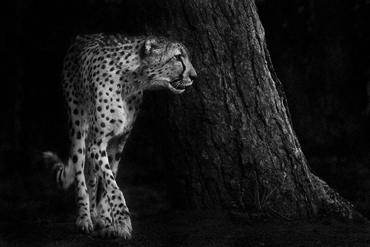 Cheetah-Mysterious Beauty Of Animals Captured In Striking Portraits-14