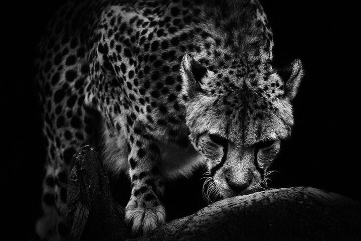Cheetah-Mysterious Beauty Of Animals Captured In Striking Portraits-16