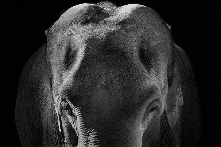 Elephants-Mysterious Beauty Of Animals Captured In Striking Portraits-19