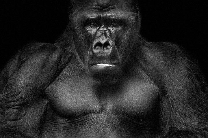 Gorillas-Mysterious Beauty Of Animals Captured In Striking Portraits-20
