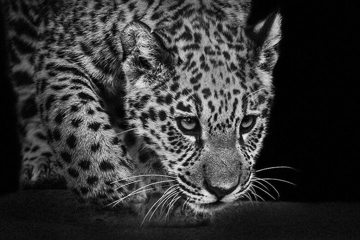 Leopards-Mysterious Beauty Of Animals Captured In Striking Portraits-23