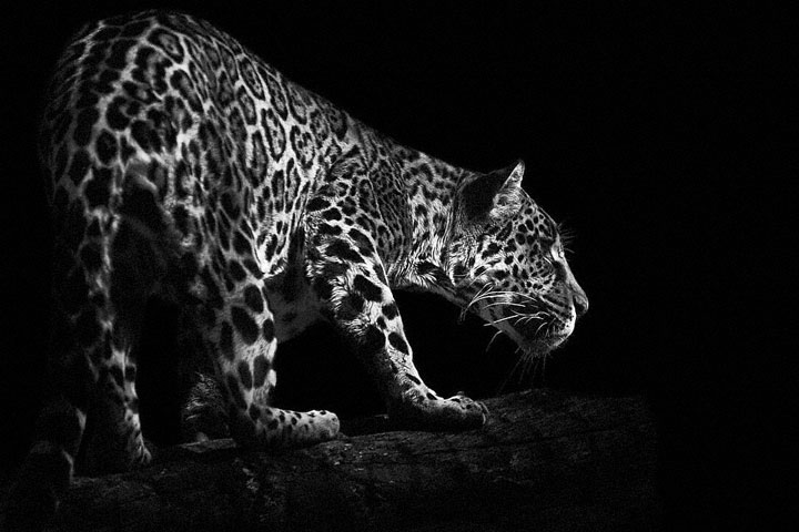 Leopards-Mysterious Beauty Of Animals Captured In Striking Portraits-25