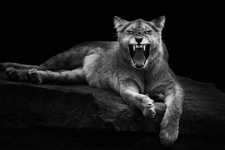 Lions-Mysterious Beauty Of Animals Captured In Striking Portraits-29