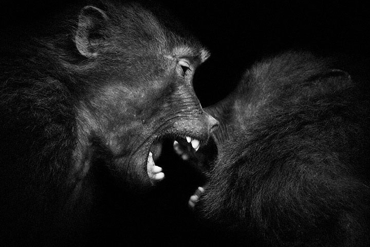 Baboons- Mysterious Beauty Of Animals Captured In Striking Portraits-3