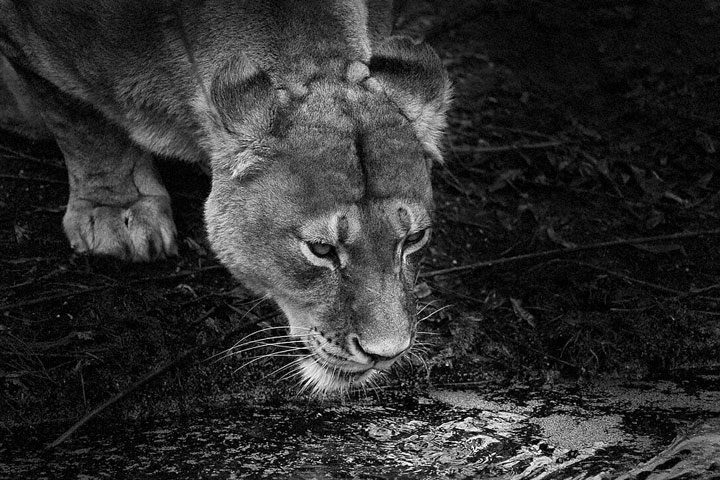 Lions-Mysterious Beauty Of Animals Captured In Striking Portraits-30