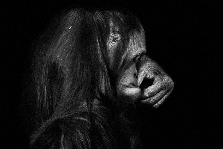 Orangutans-Mysterious Beauty Of Animals Captured In Striking Portraits -32