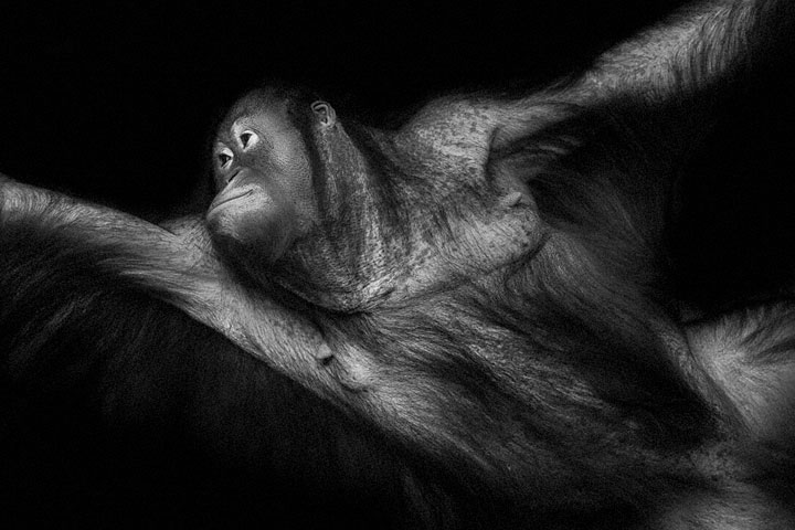 Orangutans-Mysterious Beauty Of Animals Captured In Striking Portraits -33