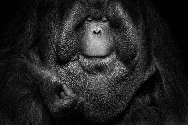 Orangutans-Mysterious Beauty Of Animals Captured In Striking Portraits -34