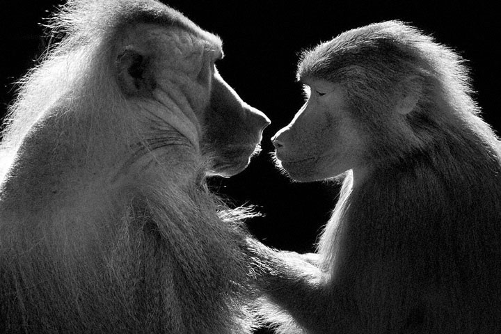 Baboons- Mysterious Beauty Of Animals Captured In Striking Portraits-4
