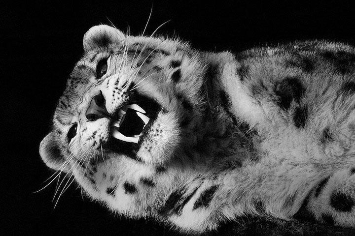 Snow Leopards-Mysterious Beauty Of Animals Captured In Striking Portraits-43