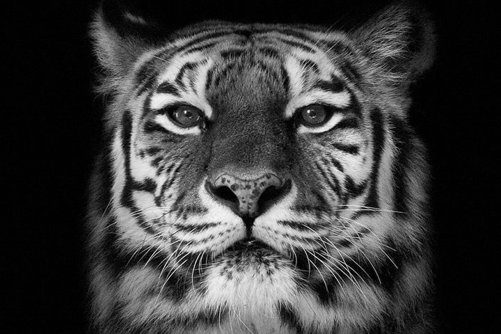 Tigers-Mysterious Beauty Of Animals Captured In Striking Portraits -45