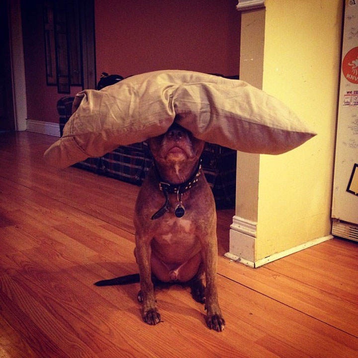 A Dog Owner Takes Funny Photos Of Its Dog By Putting Various Objects On Its Head-9