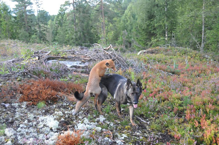 The Tender Moments From The Lovely Friendship Between A Dog And A Fox-10