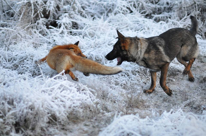 The Tender Moments From The Lovely Friendship Between A Dog And A Fox-18