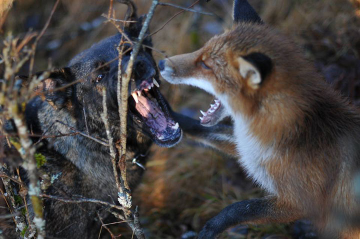 The Tender Moments From The Lovely Friendship Between A Dog And A Fox-9