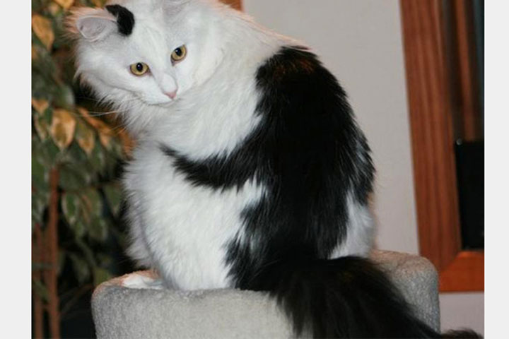Cat with a monkey hugging her -12 Unique Cats In The World Because Of Unique Markings On Their Fur-1