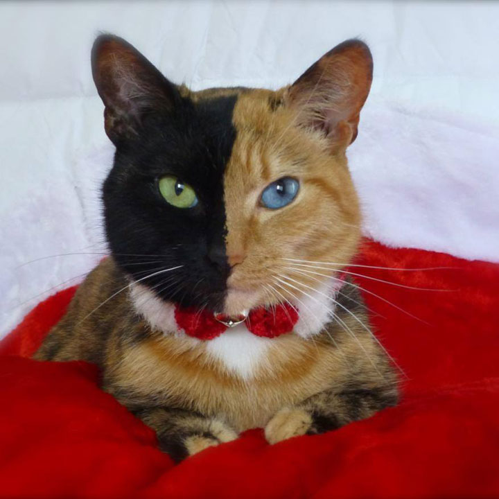 Venus, double face cat-12 Unique Cats In The World Because Of Unique Markings On Their Fur-14