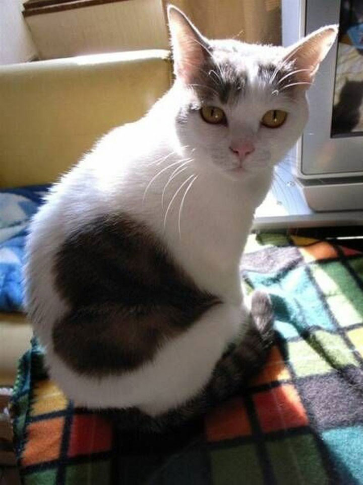 Cat with a heart on the back-12 Unique Cats In The World Because Of Unique Markings On Their Fur-2