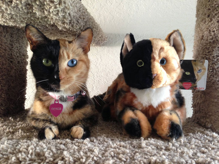 Venus, double face cat-12 Unique Cats In The World Because Of Unique Markings On Their Fur-3