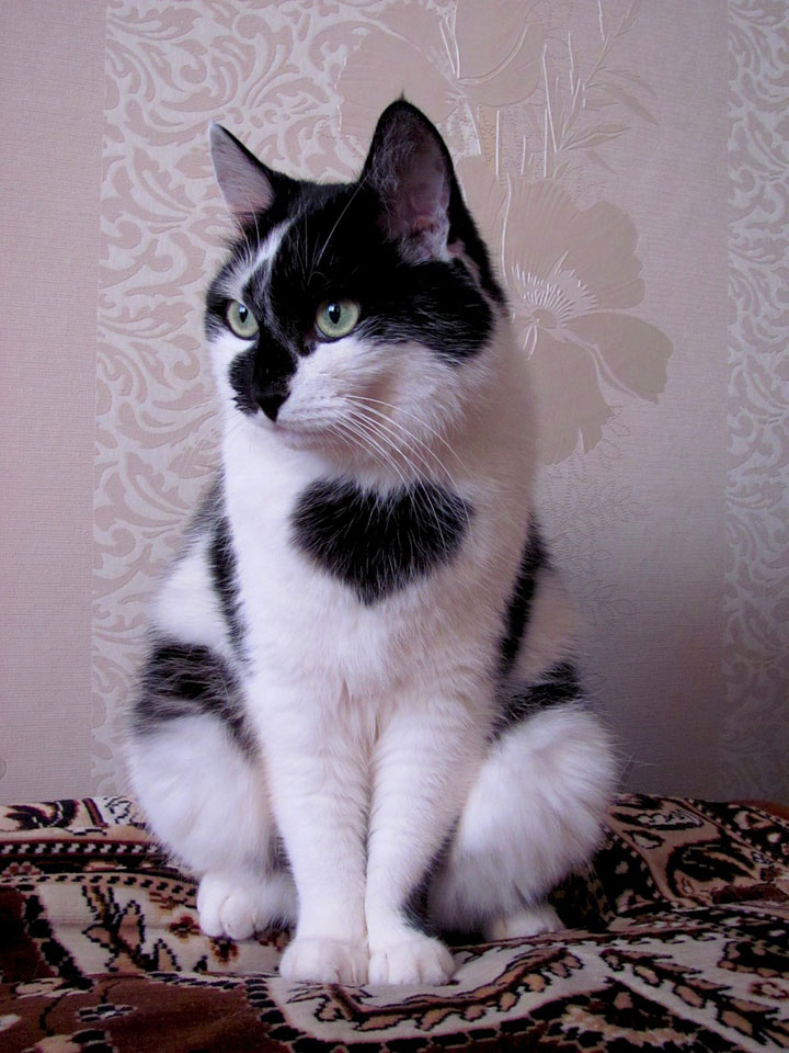The cat with a heart on the chest -12 Unique Cats In The World Because Of Unique Markings On Their Fur-6