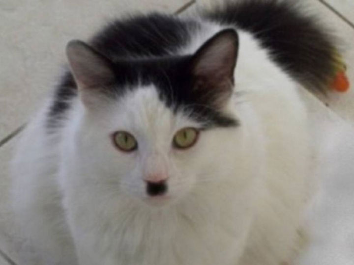 Hitler cats -12 Unique Cats In The World Because Of Unique Markings On Their Fur-7