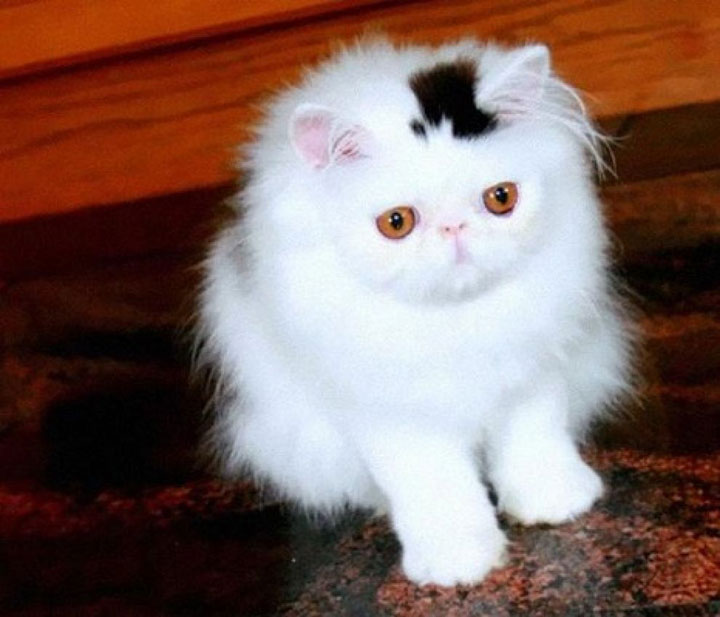 The cat with a hat-shaped top -12 Unique Cats In The World Because Of Unique Markings On Their Fur-9