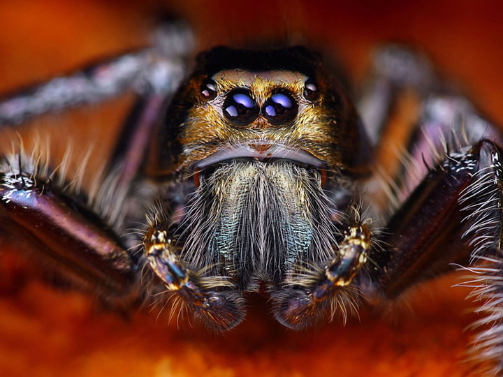 Discover the Beauty Of Spiders Through Microscopic Photographs-14