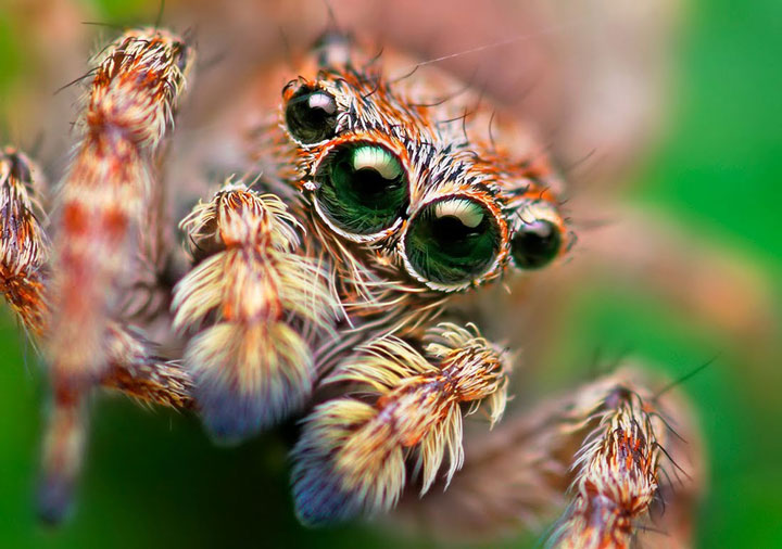 Discover the Beauty Of Spiders Through Microscopic Photographs-2