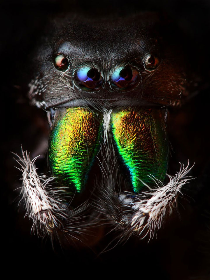Discover the Beauty Of Spiders Through Microscopic Photographs-9