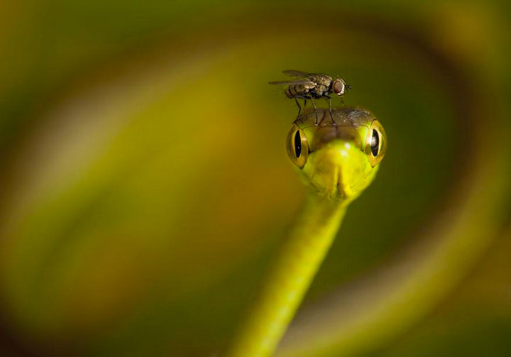 A fly on the head of a snake -Top 21 Extraordinary Photographs That Will Make You Admire Wildlife Beauty-