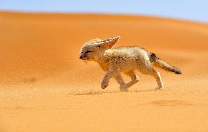 Fennec, the soul of the desert -Top 21 Extraordinary Photographs That Will Make You Admire Wildlife Beauty-1