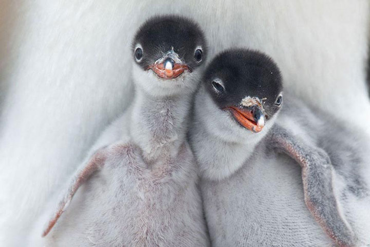 Two penguins babies-Top 21 Extraordinary Photographs That Will Make You Admire Wildlife Beauty-10