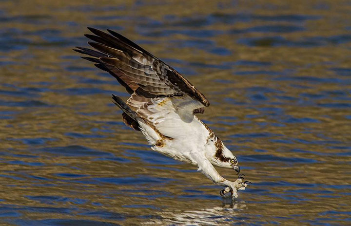 An Osprey just before impact-Top 21 Extraordinary Photographs That Will Make You Admire Wildlife Beauty-11