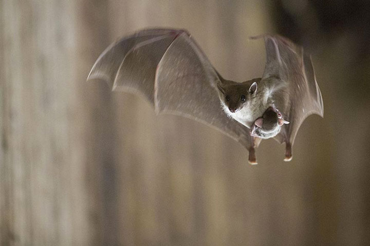 A bat and her baby strapped to her belly-Top 21 Extraordinary Photographs That Will Make You Admire Wildlife Beauty-13