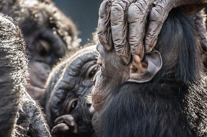 The tenderness of a mother towards her child Bonobo-Top 21 Extraordinary Photographs That Will Make You Admire Wildlife Beauty-14