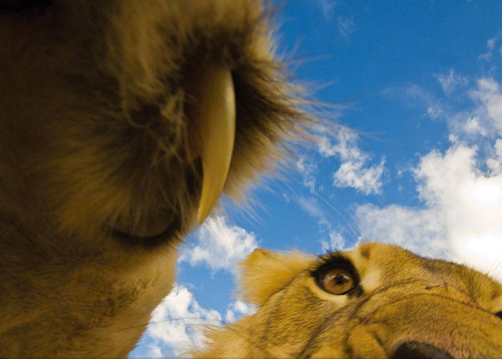 A lion discovering a camera -Top 21 Extraordinary Photographs That Will Make You Admire Wildlife Beauty-15