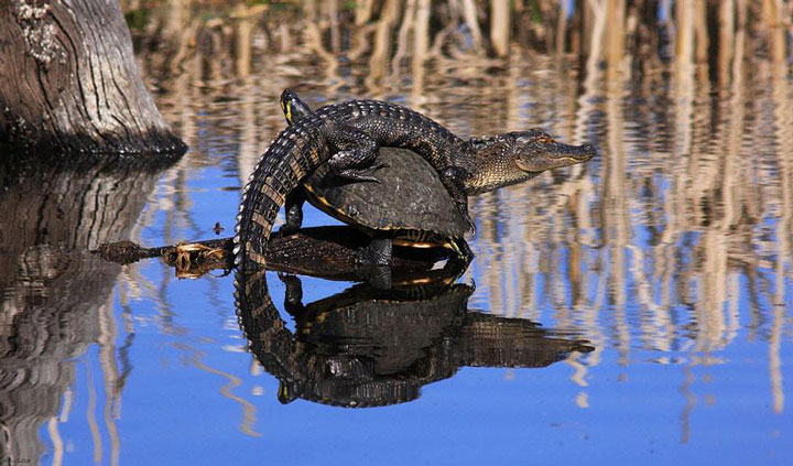 The unusual friendship of a crocodile and a turtle-Top 21 Extraordinary Photographs That Will Make You Admire Wildlife Beauty-16