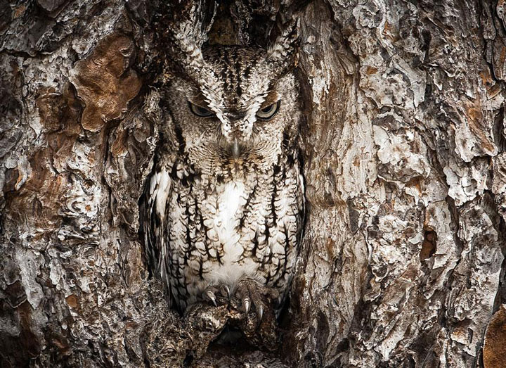 Portrait of a Eastern Screech Owl -Top 21 Extraordinary Photographs That Will Make You Admire Wildlife Beauty-2