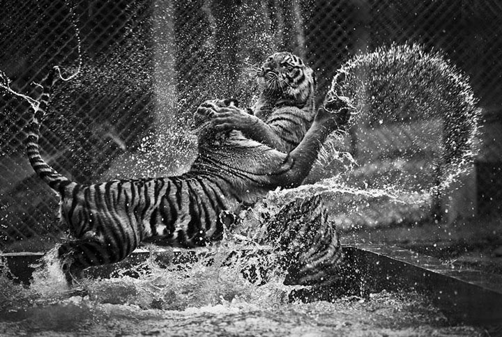 Two tigers fighting one another-Top 21 Extraordinary Photographs That Will Make You Admire Wildlife Beauty-5