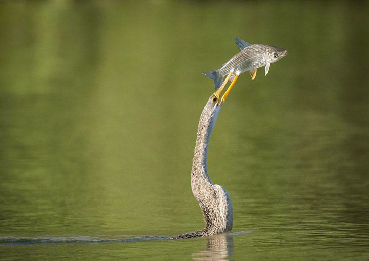 A bird-serpent fishing -Top 21 Extraordinary Photographs That Will Make You Admire Wildlife Beauty-6
