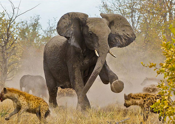 An elephant chasing hyenas-Top 21 Extraordinary Photographs That Will Make You Admire Wildlife Beauty-9