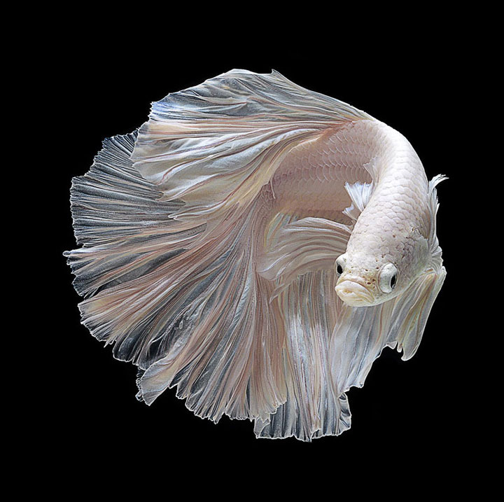 Discover The Sublime Beauty In The Dance Of Siamese Fighting Fish-