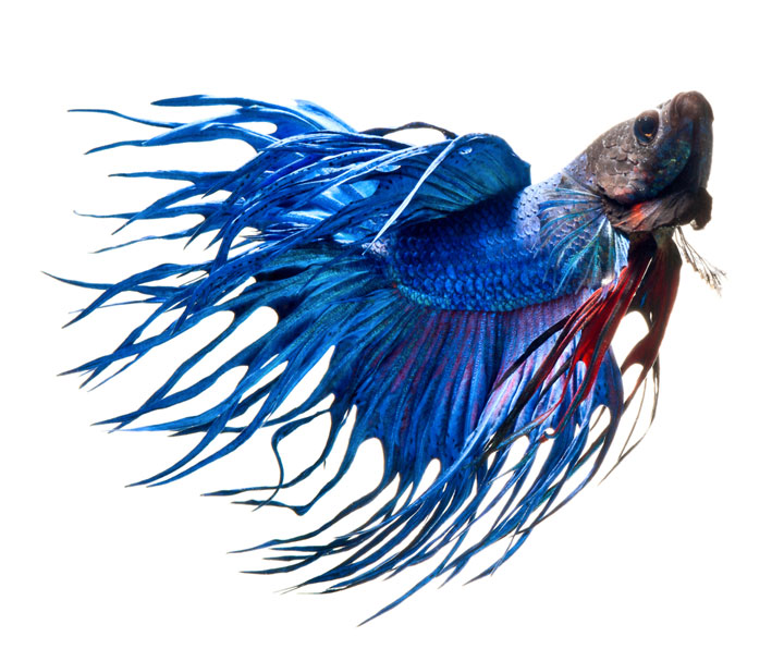 Discover The Sublime Beauty In The Dance Of Siamese Fighting Fish-10