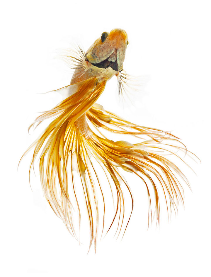 Discover The Sublime Beauty In The Dance Of Siamese Fighting Fish-12