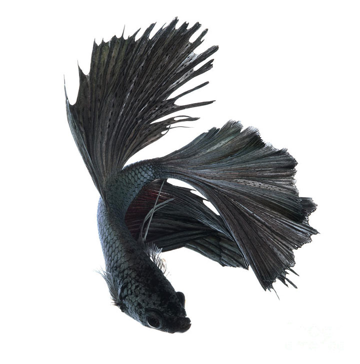 Discover The Sublime Beauty In The Dance Of Siamese Fighting Fish-15