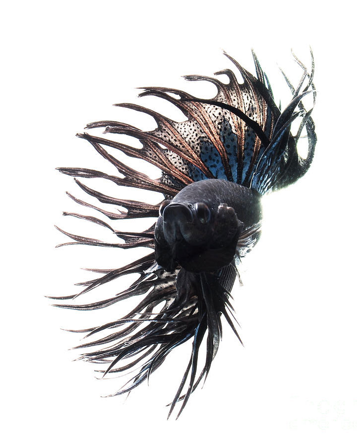 Discover The Sublime Beauty In The Dance Of Siamese Fighting Fish-18