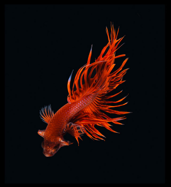 Discover The Sublime Beauty In The Dance Of Siamese Fighting Fish-2