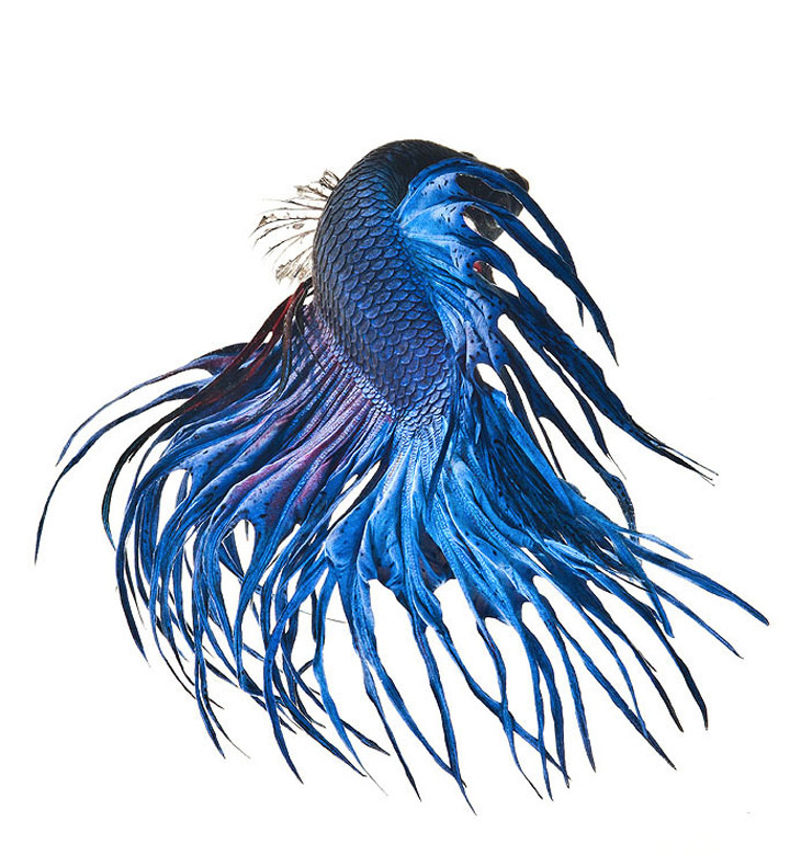 Discover The Sublime Beauty In The Dance Of Siamese Fighting Fish-3