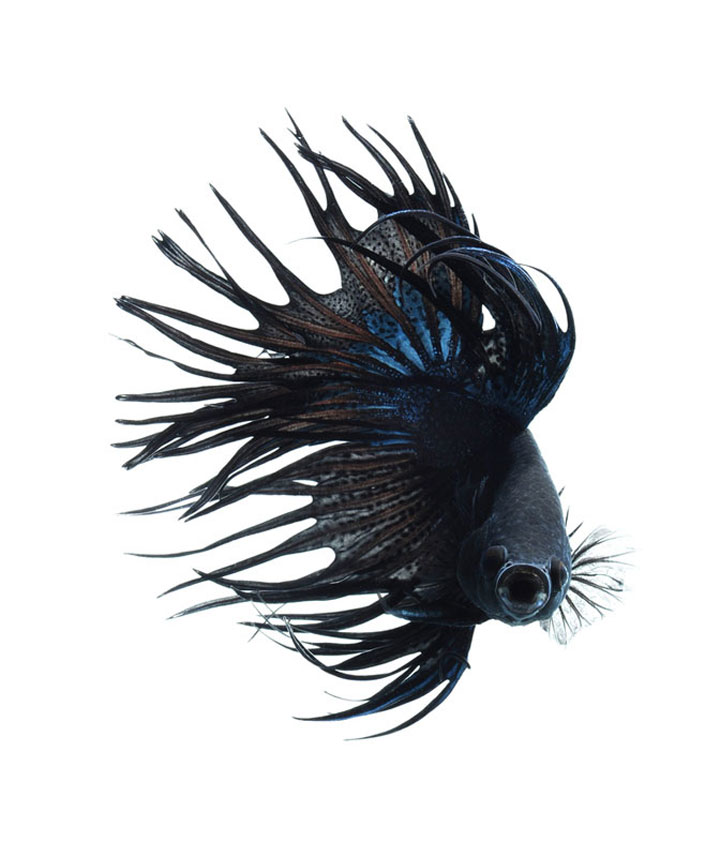 Discover The Sublime Beauty In The Dance Of Siamese Fighting Fish-5