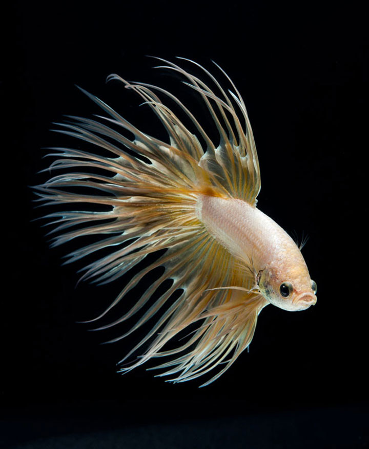 Discover The Sublime Beauty In The Dance Of Siamese Fighting Fish-6